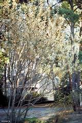 Common Pussy Willow Salix discolor : HGTV Gardens
