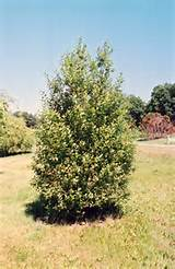 ... view full-size photo of French Pussy Willow (Salix caprea) at Gertens