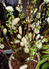Pussy Willow Plant