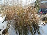 Year Old Giant Pussy Willow Plant That Was Supposed - pussy willows ...