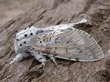 Puss Moth © N Sherman