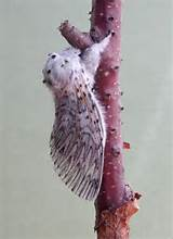 Puss Moth Cerura vinula - zoom | UKMoths